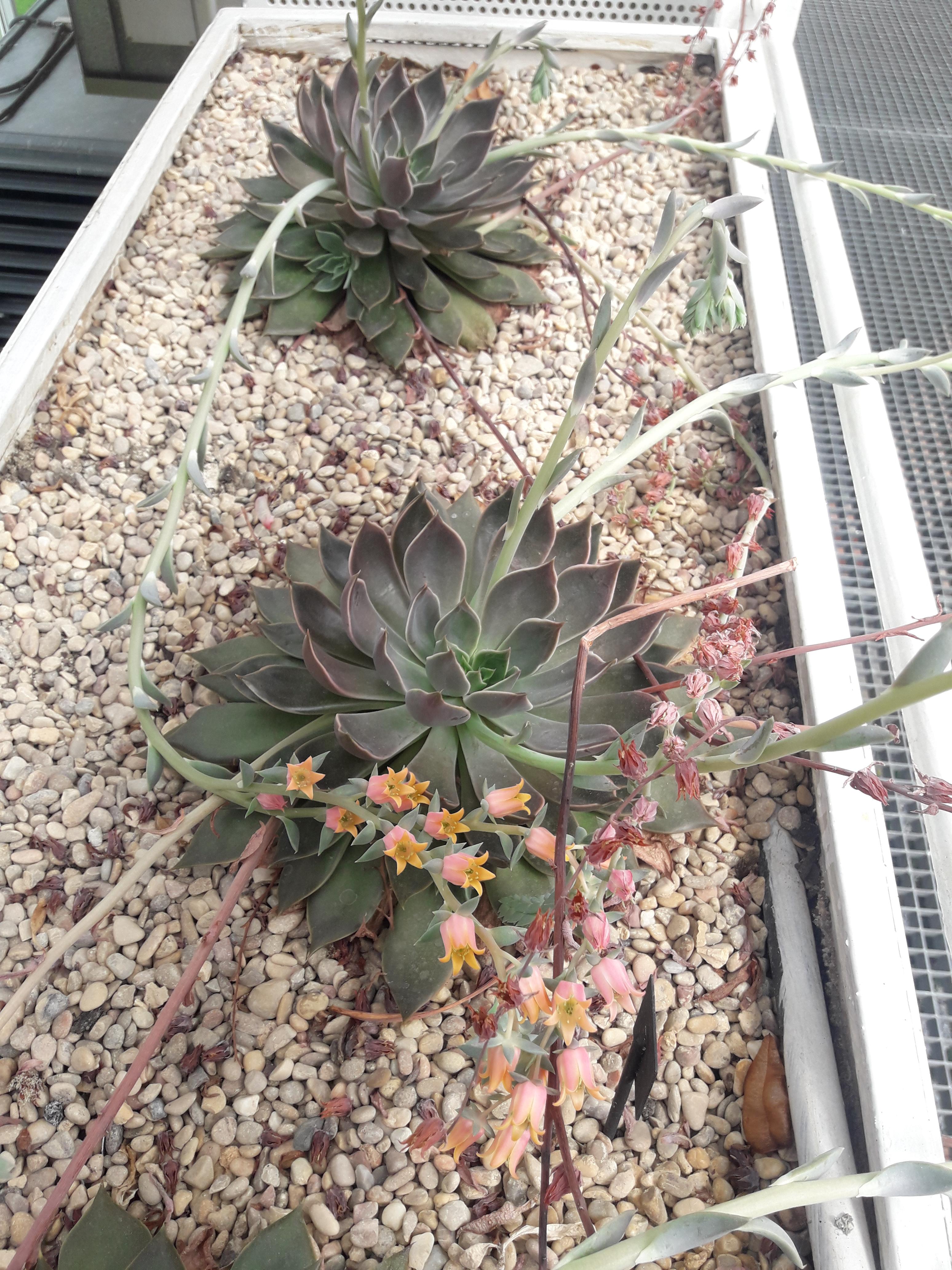 Echeveria gibbiflora var. metallica
