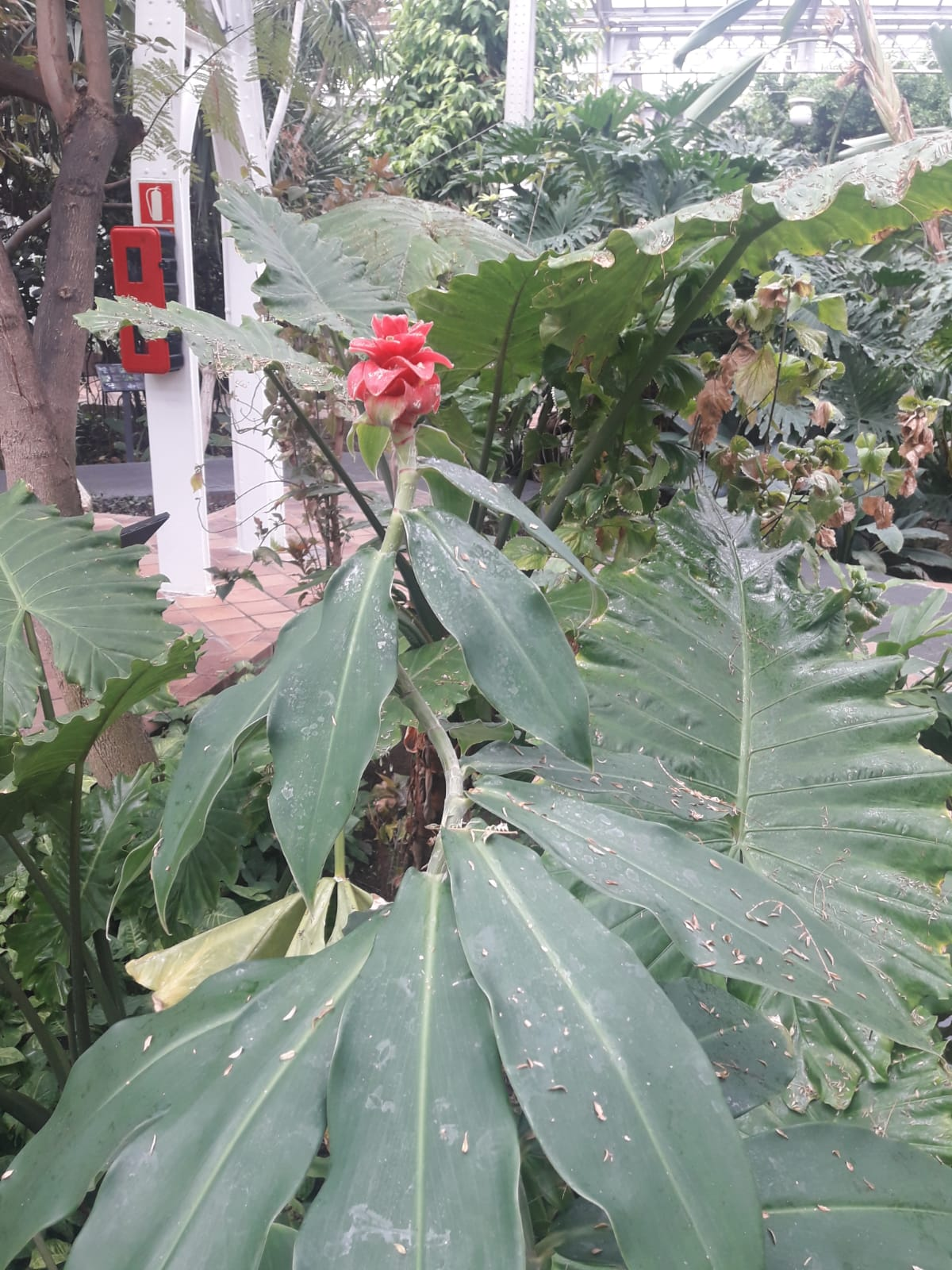 Costus amazonicus