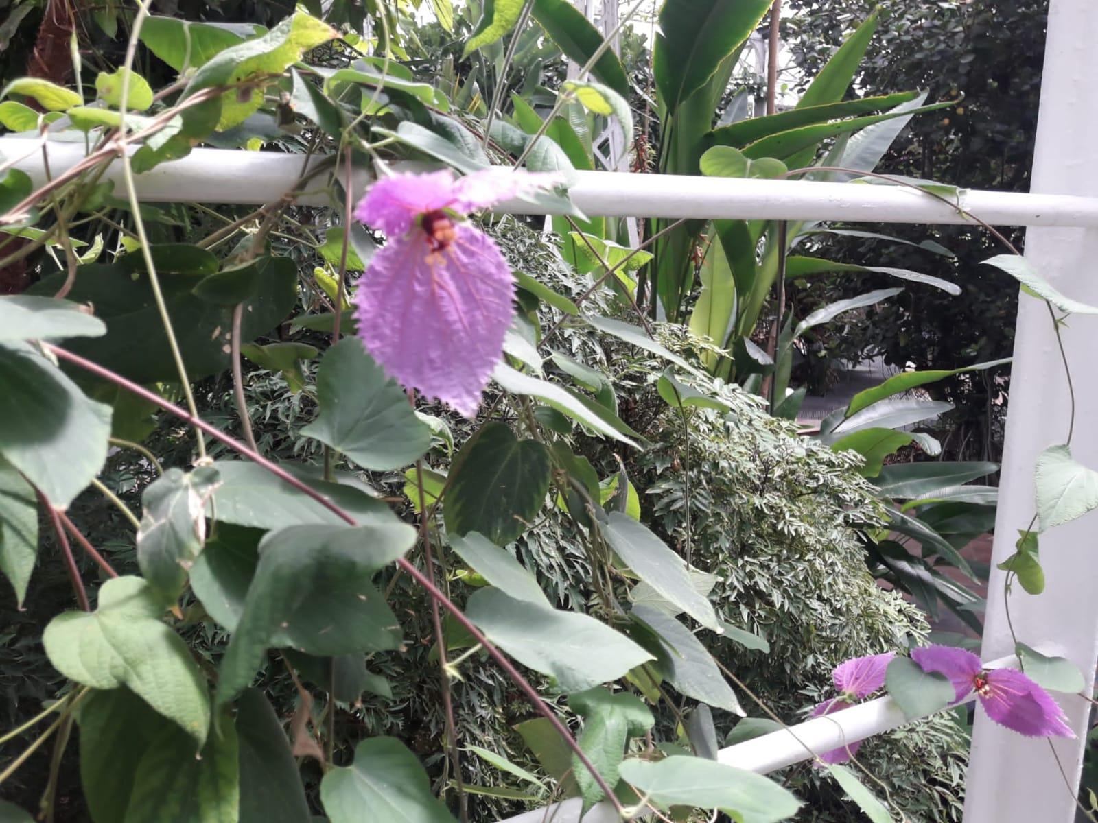 Dalenchampia dioscoreifolia
